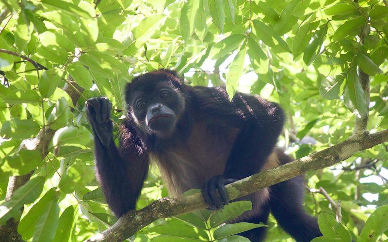 Sierpe Congo Monkey